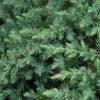 Juniperus Blue Pacific - sole - 36 - 18 - in-abbinamento-con-altri-juniperus-o-con-arbusti-e-perenni-tappezzanti-o-in-accoppiamento-a-piante-a-portamento-pi%c2%9d-eretto