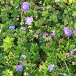 Geranium ROZANNE - sole - 36 - 15 - campanula-variet%c2%88-nane-hypericum-lithospermum