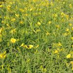 Hemerocallis stella d'oro - sole - 36 - 9 - hosta-iris-lytrum-miscanthus-monarda-tradescantia