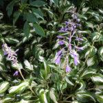 Hosta  Ondulata - mezzo-sole - 36 - 18 - anemone-astilbe-convallaria-felci-ophiopogon-persicaria