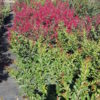 Lagerstroemia - sole - 36 - 32 - con-arbusti-dalla-fioritura-estiva-o-primaverile-ottimo-per-fioriere-o-con-perenni-tappezzanti-sempreverdi-che-caducifolia