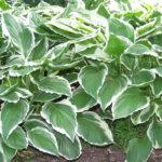 Hosta Albo Variegata - mezzo-sole - 36 - 18 - anemone-astilbe-convallaria-felci-ophiopogon-persicaria
