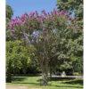 Lagerstroemia indica - sole - 36 - 32 - con-arbusti-dalla-fioritura-estiva-o-primaverile-ottimo-per-fioriere-o-con-perenni-tappezzanti-sempreverdi-che-caducifolia