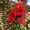 Lagerstroemia indica Dynamite - sole - 36 - 32 - con-arbusti-dalla-fioritura-estiva-o-primaverile-ottimo-per-fioriere-o-con-perenni-tappezzanti-sempreverdi-che-caducifolia