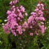 Lagerstroemia indica Rapsodine Pink - sole - 36 - 32 - con-arbusti-dalla-fioritura-estiva-o-primaverile-ottimo-per-fioriere-o-con-perenni-tappezzanti-sempreverdi-che-caducifolia