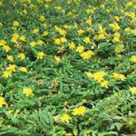 Hypericum calicinum - sole - 36 - 9 - campanula-dianthus-graminacee-iberis-iris