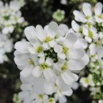 Iberis semperviren Snow Cone - sole - 36 - 15 - alyssum-aubrieta-dianthus-dryas-iris-pumila-phlox-subulata
