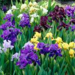 Iris germanica bi/ro/rosa/giallo/blu - sole - 36 - 15 - hemerocallis-tulbaghie-agapanthusphlox-paniculatagraminacee