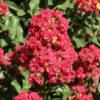 Lagerstroemia indica rossa - sole - 36 - 32 - con-arbusti-dalla-fioritura-estiva-o-primaverile-ottimo-per-fioriere-o-con-perenni-tappezzanti-sempreverdi-che-caducifolia