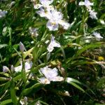 Iris japonica - ombra - 36 - 14 - acanthus-bergenia-brunnera-helenium-hemerocallis-tradescantia