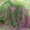 Lespedezia thumbergi - sole - 36 - 18 - arbusti-a-fioritura-primaverile-e-perenni-dal-rapido-accrescimento-a-fioritura-primaverile-e-autunnale