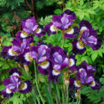 Iris japonica varigata - ombra - 36 - 14 - acanthus-bergenia-brunnera-helenium-hemerocallis-tradescantia