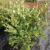 Ligustrum japonicum - sole - 36 - 15 - ottimo-da-siepe-in-purezza-abbinato-in-forma-libera-con-arbusti-di-buon-vigore-e-di-media-grandezza-megliom-se-sempreverdi