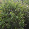 Ligustrum lucidum - sole - 36 - 24 - ottimo-se-utilizzato-come-siepe-di-media-grandezza-ben-si-adatta-a-fioriere-come-pianta-singola