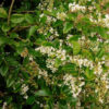 Ligustrum sinensis - sole - 36 - 15 - ottimo-da-siepe-in-purezza-abbinato-in-forma-libera-con-arbusti-di-buon-vigore-e-di-media-grandezza-megliom-se-sempreverdi