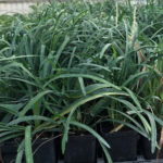 Liriope Monroe White - mezzo-sole - 36 - 14 - hosta-mitella-tiarella-waldsteiniahosta-bergenialiriopeophyopogon