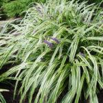 Liriope muscari Aztec Pearl - mezzo-sole - 36 - 9 - hosta-mitella-tiarella-waldsteiniahosta-bergenialiriopeophyopogon