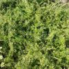 Lonicera nitida Baggens Gold - mezzo-sole - 36 - 15 - sarcococca-ruscus-hoste-helleborus-con-arbusti-di-crescita-piu-elevata-come-aucuba
