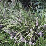 Liriope muscari Evergreen Giant - mezzo-sole - 36 - 9 - hosta-mitella-tiarella-waldsteiniahosta-bergenialiriopeophyopogon