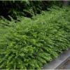 Lonicera nitida Elegantissima - mezzo-sole - 36 - 14 - come-bordura-o-siepe-come-macchia-con-altri-arbusti-di-media-grandezza