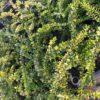 Lonicera nitida Majgruen - mezzo-sole - 36 - 14 - in-purezza-come-tappezzante-in-associazione-con-altri-arbusti-coprisuolo