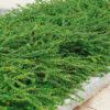 Lonicera pileata Moss Green placca 24 f. - mezzo-sole - 36 - 9 - in-purezza-come-tappezzante-in-associazione-con-altri-arbusti-coprisuolo