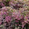 Loropetalum chin Blush - sole - 36 - 18 - ottimo-con-arbusti-a-fioritura-primaverile-e-estiva-dal-portamento-compattoottimo-come-siepe