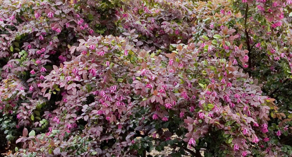 Razzleberri Fringe Flower, Loropetalum chinense 'Monraz', mature