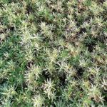 Oenothera  speciosa rosea - sole - 36 - 15 - aster-dumosus-nepeta-prunella-salvia-veronica