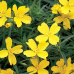 Oenothera missur. Lemon Drop - sole - 36 - 15 - aster-dumosus-nepeta-prunella-salvia-veronica