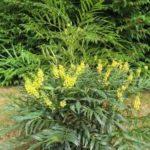 Mahonia Confusa - mezzo-sole - 36 - 18 - ottima-in-fioriera-con-painte-da-mezzoombra-classiche-hosta-sarcococca-aucubahellebori-al-sole-nandina-hypericum-arbusti-nani-e-tappezzanti