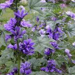 Malva sylvestris  Blue Fontain - sole - 36 - 14 - aster-chrysanthemum-helenium-centranthus-nepeta