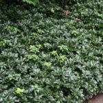 Pachisandra terminalis Green Scheen (da sole) - mezzo-sole - 36 - 9 - astilbe-felci-geranium-sarcoccocca-pachisandra-hosta-hellebori-epimedium