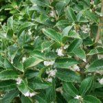 Osmanthus aquifolium - mezzo-sole - 36 - 24 - ottimo-in-associazione-di-altri-arbusti-da-siepe-sia-in-forma-libera-che-in-forma-adatto-a-fioriere-come-pianta-singola
