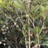 Osmanthus armathus - mezzo-sole - 36 - 28 - ottimo-in-associazione-di-altri-arbusti-da-siepe-sia-in-forma-libera-che-in-forma-adatto-a-fioriere-come-pianta-singola