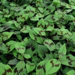 Persicaria filiformis - mezzo-sole - 36 - 14 - astilbe-felci-geranium-sarcoccocca-pachisandra-hosta-hellebori-epimedium