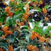 Osmanthus fragrans Arauntiacus - mezzo-sole - 36 - 28 - ottimo-in-associazione-di-altri-arbusti-da-siepe-sia-in-forma-libera-che-in-forma-adatto-a-fioriere-come-pianta-singola
