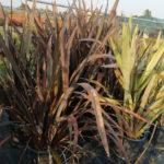 Phormium tenax Atropurpurea - sole - 36 - 18 - hemerocallis-pittosporo-rosmarino-coreopsisagapanthus