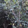 Osmanthus heterreophyllum - mezzo-sole - 36 - 28 - ottimo-in-associazione-di-altri-arbusti-da-siepe-sia-in-forma-libera-che-in-forma-adatto-a-fioriere-come-pianta-singola