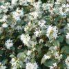 Osmarea boorkwoody - mezzo-sole - 36 - 18 - ottimo-in-associazione-di-altri-arbusti-da-siepe-sia-in-forma-libera-che-in-forma-adatto-a-fioriere-come-pianta-singola
